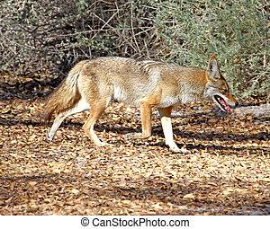 Coyote in Tucson 2 - Coyote walking a trail in Tucson, AZ