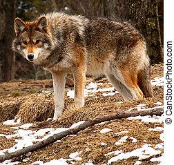 coyote, kijken naar van het fototoestel, op, een, lente, dag