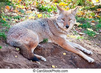 coyote, kijken naar van het fototoestel