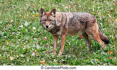 Coyote Looking at the Camera - On a fall day a coyote is...