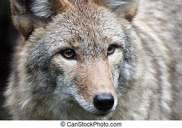coyote., nordwesten, tierwelt, treck, foto, genommen, park, wa.