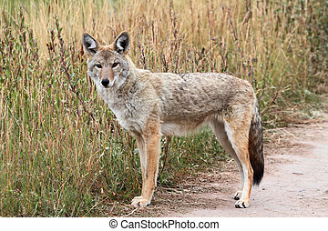 coyote, occidental