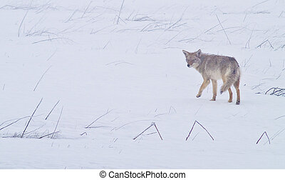 Coyote of the West Plains 1 - A coyote walks on the frozen, ...
