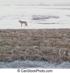 Coyote of the West Plains 3 - A coyote walks on the frozen, ...