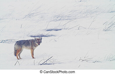 Coyote of the West Plains 4 - A coyote walks on the frozen, ...