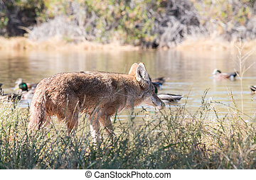 Coyote on the hunt - Coyote hunting along pond edge in the ...