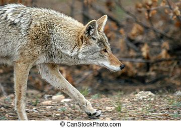 Coyote on the Move - Wiley coyote trotting through the ...