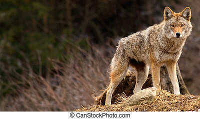 On a spring day, a coyote is standing on top of a hill.