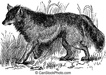 Coyote or Canis latrans or American jackal or Prairie wolf, vintage engraving. Old engraved illustration of Coyote walking in the meadow.