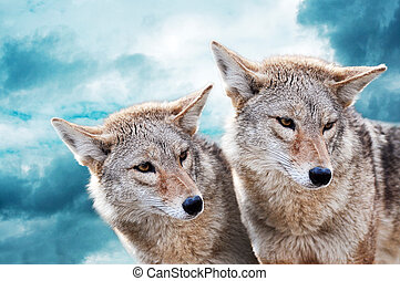 Coyote pair against the blue winter sky. Animals in the...