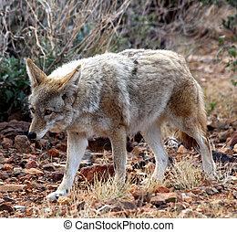 Coyote stock its prey