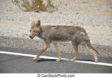 Coyote in Mojave, USA, California