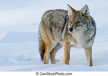 a coyote standing in the snow and staring at something beyond the frame