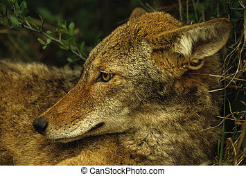 Coyote Portrait - portrait of a bedded coyote