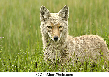Coyote Portrait - Portrait of a coyote in Yellowstone Park