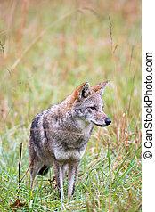 coyote, pradera