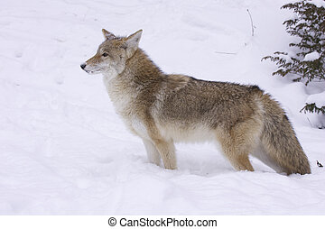 Coyote profile view in deep white snow with pine tree at backside