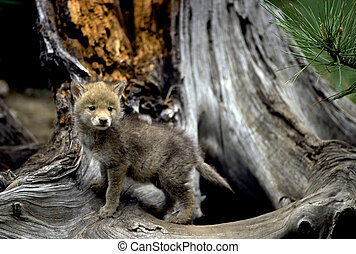 Coyote Pup - Curious coyote pup at the base of a tree.