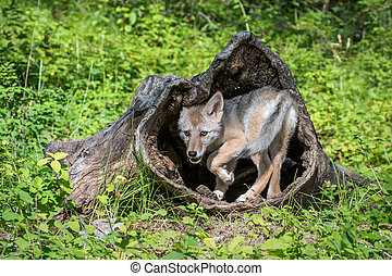 Coyote Pup Playing inside a Hollow Log