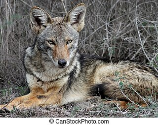 Coyote Relaxing in South Texas - A Coyote relaxing by the ...