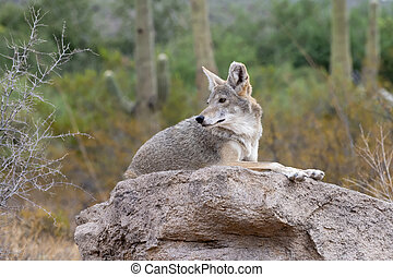 Coyote Resting on a rock in the Sonoran Desert in Southern ...