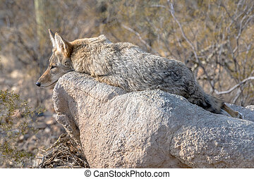 Coyote resting on a rock in the Sonoran Desert