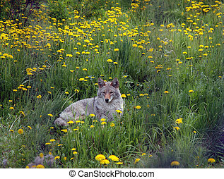 Coyote rests in dandelion patch.