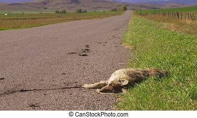Coyote Roadkill med