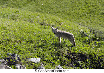 coyote running on the grass in Yellowstone National Park