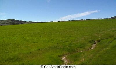 Coyote runs across green fields- zoom
