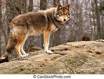 Coyote Standing on a Rock - On a spring day, a coyote is ...