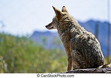 coyote, terrain, désert, balayages