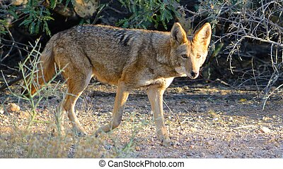 Coyote walking by
