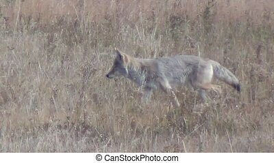Coyote walking in dry grass in Yellowstone National Park