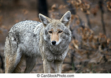 Coyote - Wild coyote standing looking at me in the woods by...