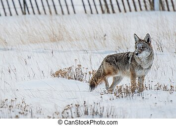 Coyote Winter Hunt. Colorado Rocky Mountains Coyote.