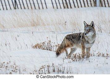 Coyote Winter Hunt. Colorado Rocky Mountains Coyote.