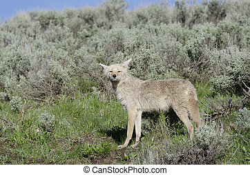 coyotes in Yellowstone