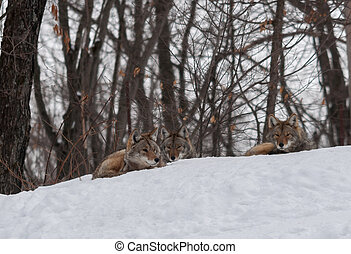 Coyotes relaxing in the snow