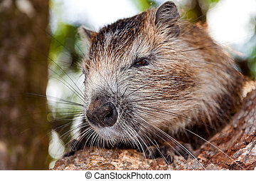 the nutria, myocastor coypus, is a large, plant-eating, stock