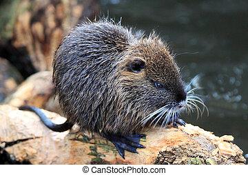 Coypu or marsh beaver