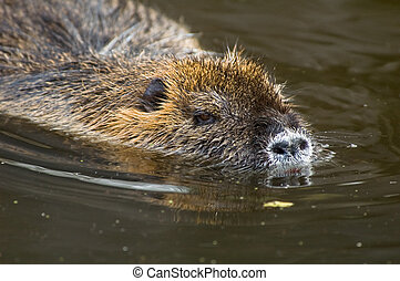 coypu or nutria - closeup of a coypu, also named nutria...