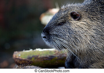 coypu - closeup of a coypu, also named nutria native to...