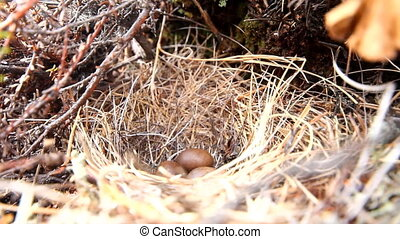 small nest with eggs, woven from grass in tundra. Closeup
