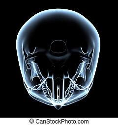 cráneo, cima, -, humano, radiografía, vista