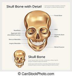 cráneo, ilustración, anatomía, vector, hueso humano