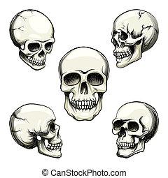 cráneo, vistas, humano