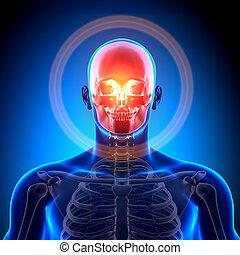 crâne, -, crâne, anatomie, /, os
