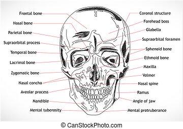 crâne humain, structure