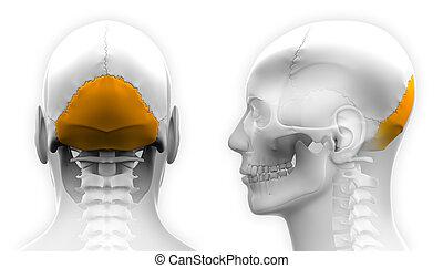 crâne, -, isolé, occipital, anatomie, blanc mâle, os